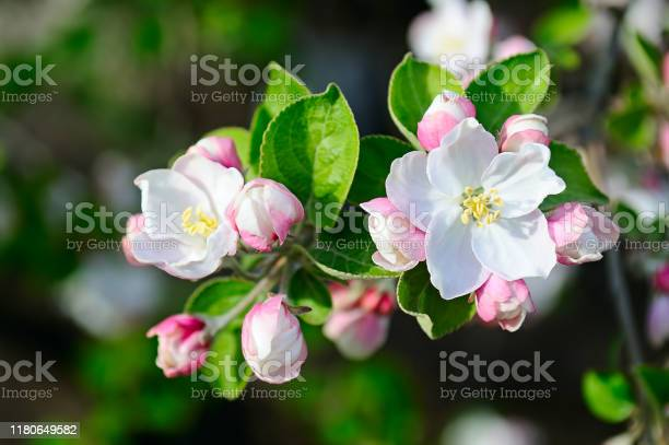 Photo of Apple tree with beautiful spring flowers on a natural background.