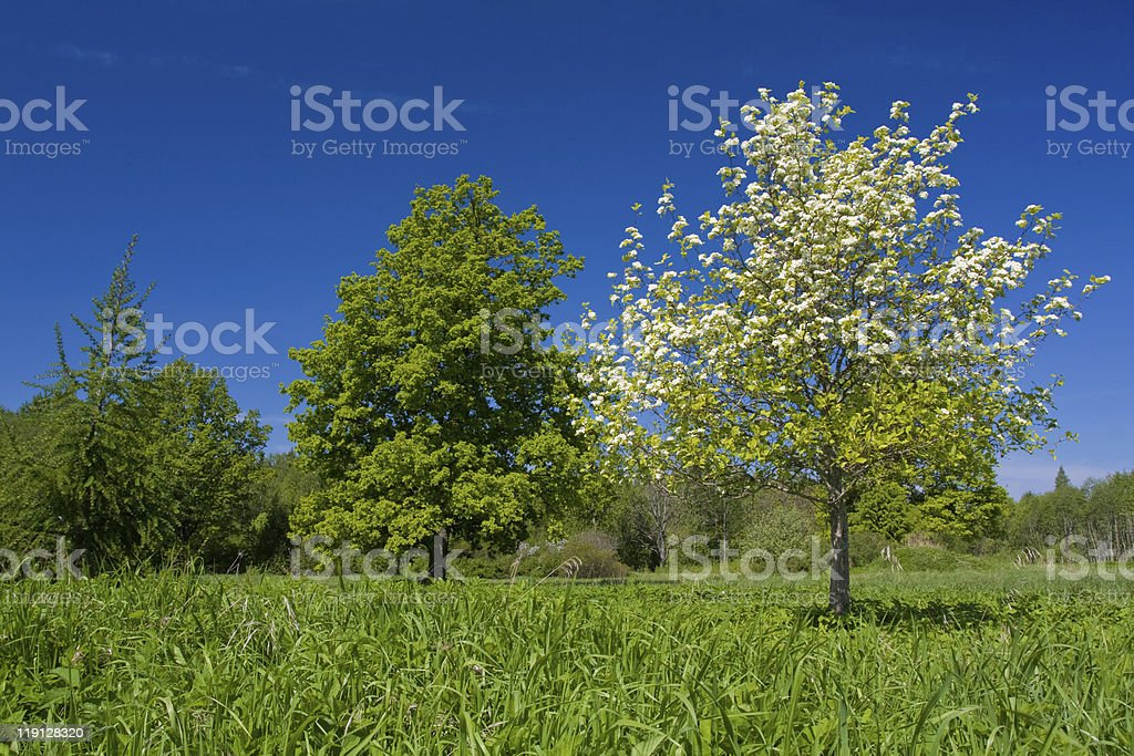Apple tree with flowers royalty-free stock photo