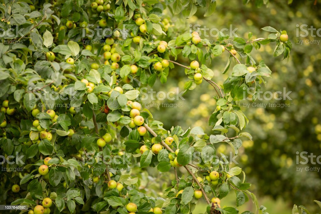 Apple tree with lots of ripe fruit. stock photo