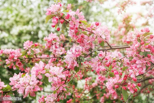 Spring natural background. Blooming decorative apple tree with delicate pink flowers and buds