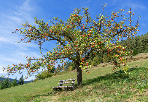 Apple tree with red apples in autumn