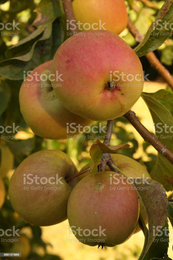 Äppelträd med mogen frukt - Royaltyfri Ekologisk bondgård Bildbanksbilder