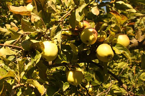 Äppelträd Med Mogen Frukt-foton och fler bilder på Ekologisk bondgård