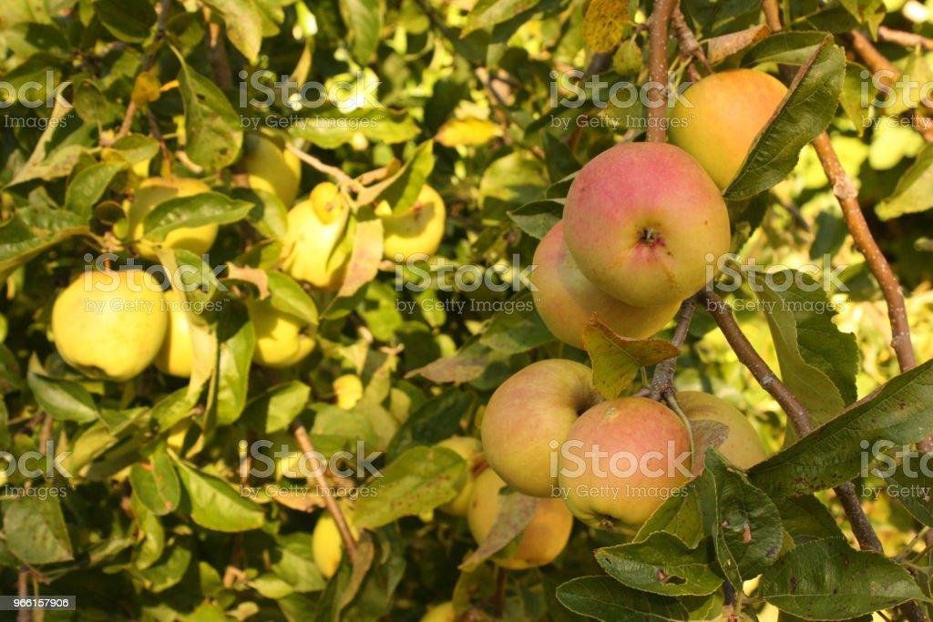 Manzano con frutos maduros - Foto de stock de Agricultura libre de derechos