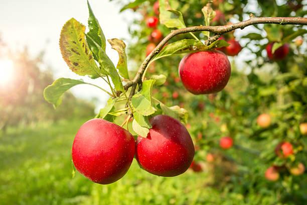 Apple Tree with sunlight stock photo