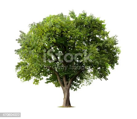 istock Apple tree without flowers or fruit, isolated on white 470604022