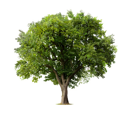 Apple tree without flowers or fruit, isolated on white