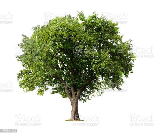 Apple tree without flowers or fruit isolated on white picture id470604022?b=1&k=6&m=470604022&s=612x612&h=np46pjdwtmvnaaqchaprqdn n60 0av0qzqylsimhuo=