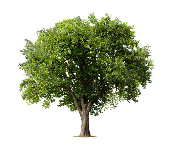 apple tree without flowers or fruit, isolated on white - trees stock photos and pictures