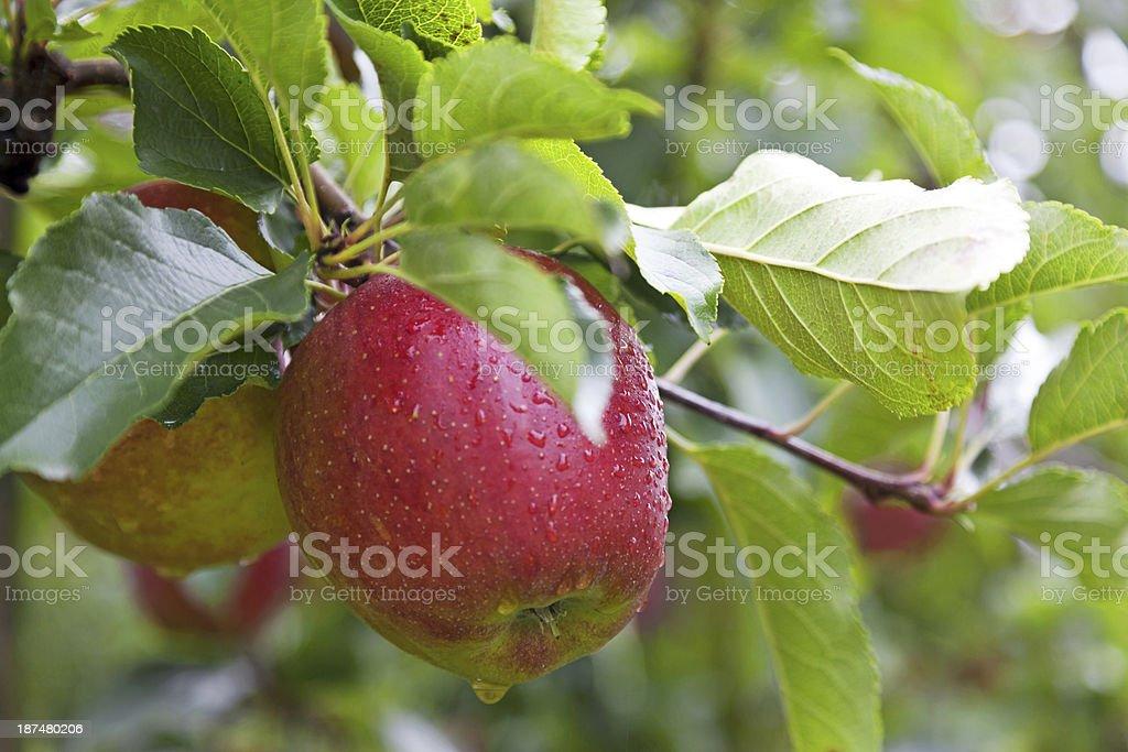 Apple tree # 127 XXXL royalty-free stock photo