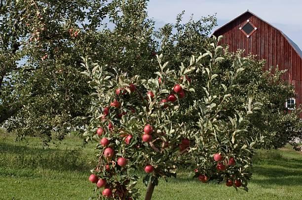Apple Trees and Barn stock photo