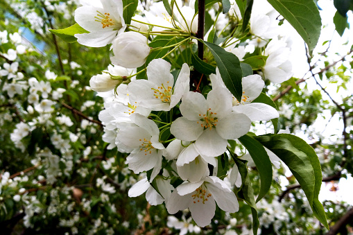 Apple trees flowers. the seed-bearing part of a plant, consisting of reproductive organs stamens and carpels that are typically surrounded by a brightly colored corolla petals