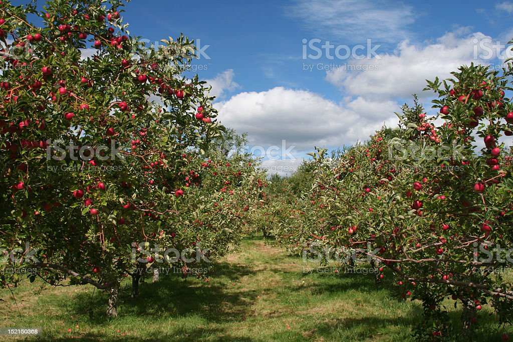 Apple trees in an apple orchard stock photo