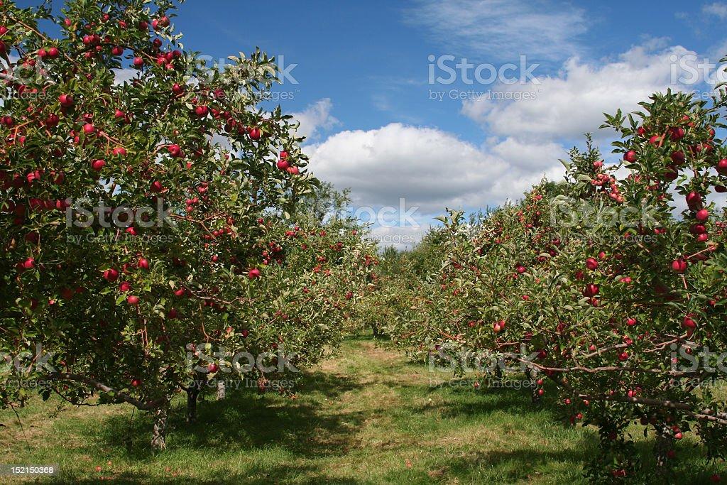 Apfel Bäume – Foto