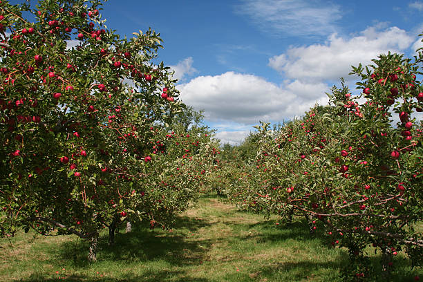 Apple trees in an apple orchard Apples trees ready to  be picked, on a beautiful day. apple orchard stock pictures, royalty-free photos & images