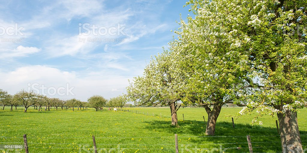 Apple trees in an old orchard stock photo