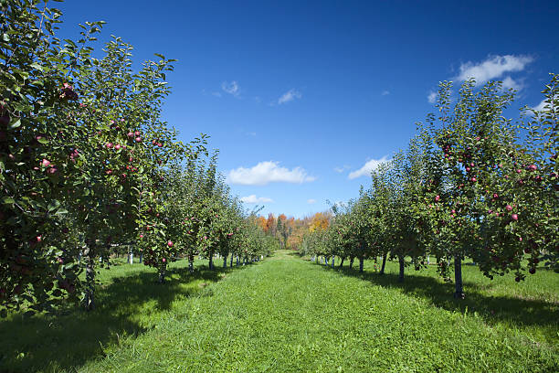 Apple Trees In Orchard Apple Trees In Orchard shoot with a polarisant filter. apple orchard stock pictures, royalty-free photos & images