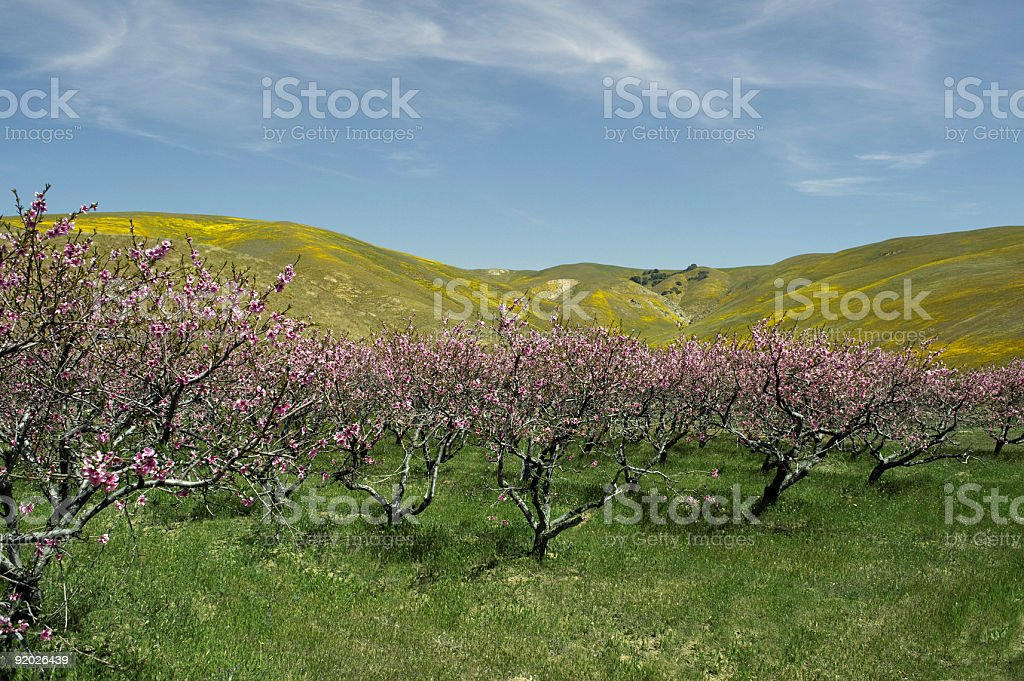 Apple trees in spring time royalty-free stock photo
