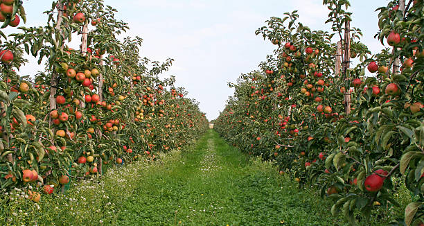 Apple trees - orchard # 2