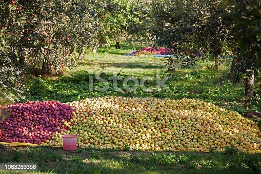 Apples picking for sale
