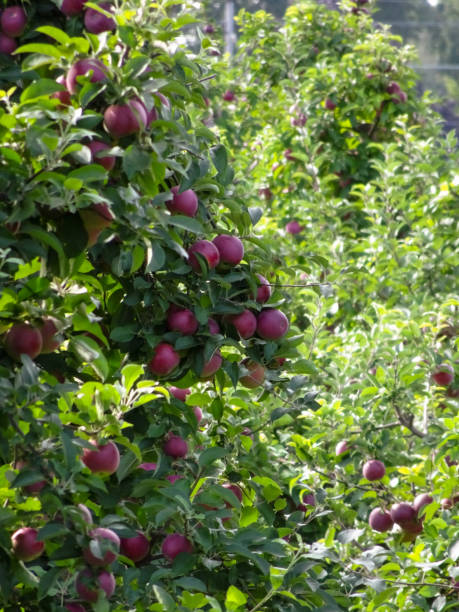 Apple trees ripe for the picking in Marion New York stock photo