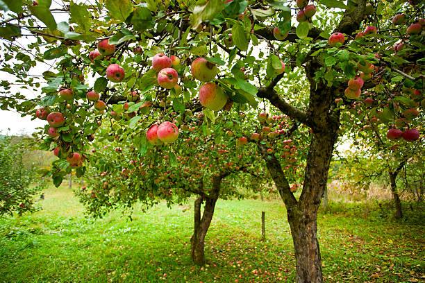alberi di mele con mele rosse - frutteto foto e immagini stock