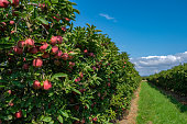 Apple trees with ripe fruits in the garden in sunny day on the blue sky background. Ripe fruits in orchard ready for harvesting. Perspective view.