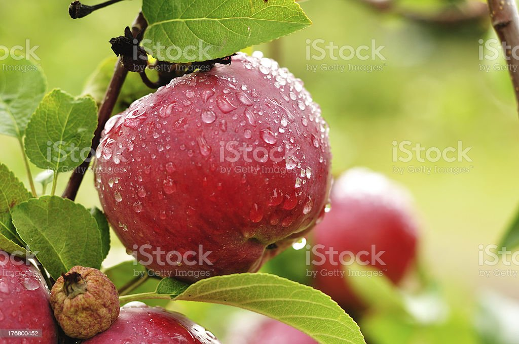 Apple with Raindrops royalty-free stock photo