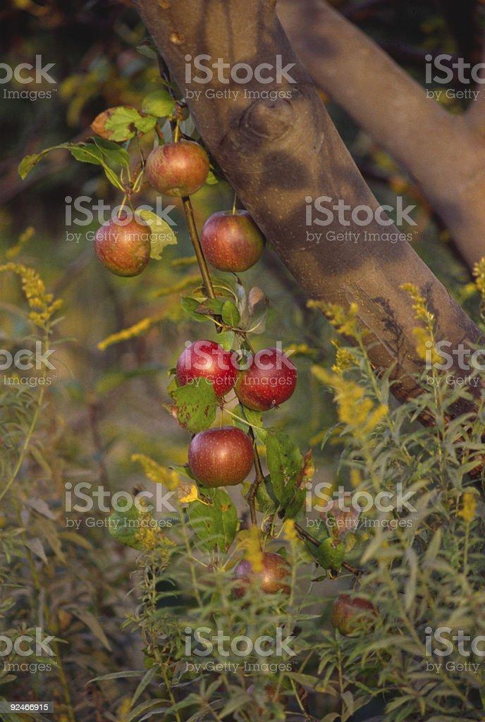 Apples 1 royalty-free stock photo