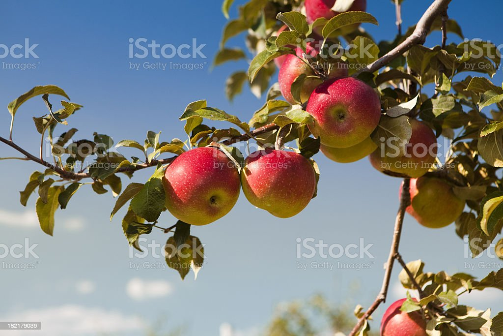 Apples at the orchard stock photo