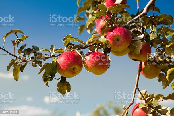 Apples At The Orchard Stock Photo - Download Image Now