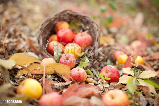 Apples on a bed of leaves