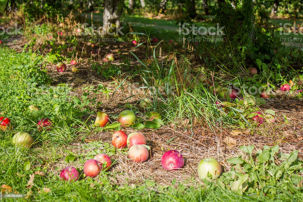 Apples Beneath a Tree royalty-free stock photo
