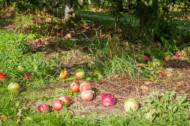 Apples Beneath a Tree stock photo