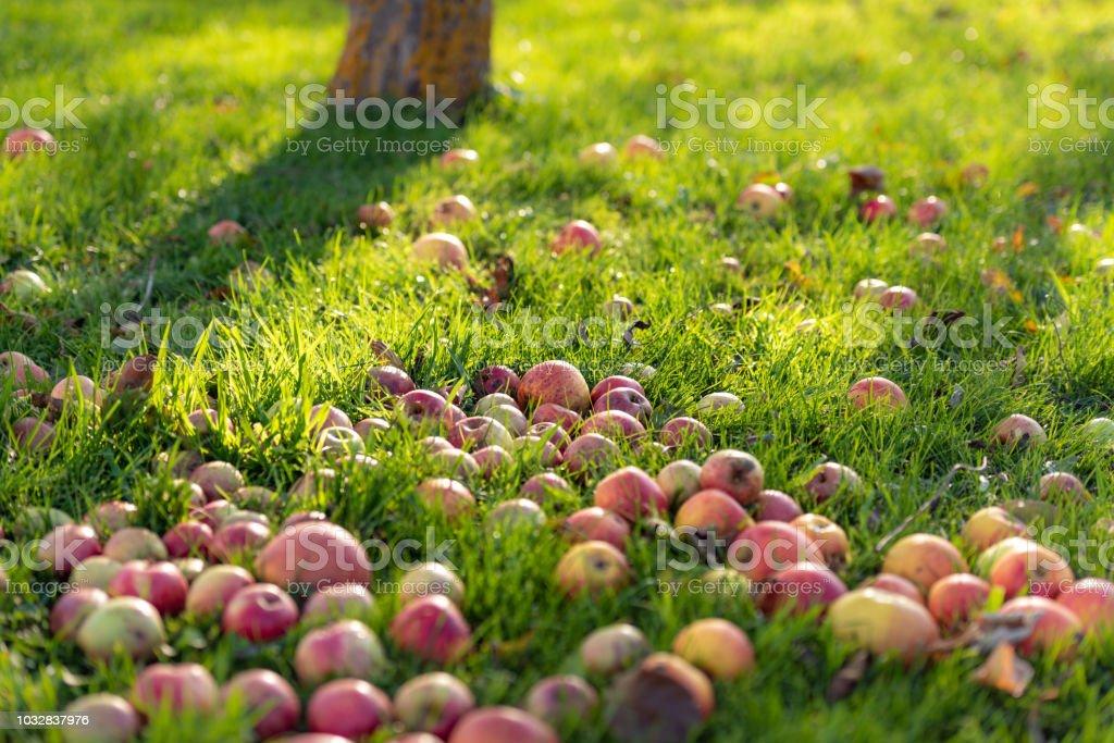 Äpfel, fallen Früchte – Foto