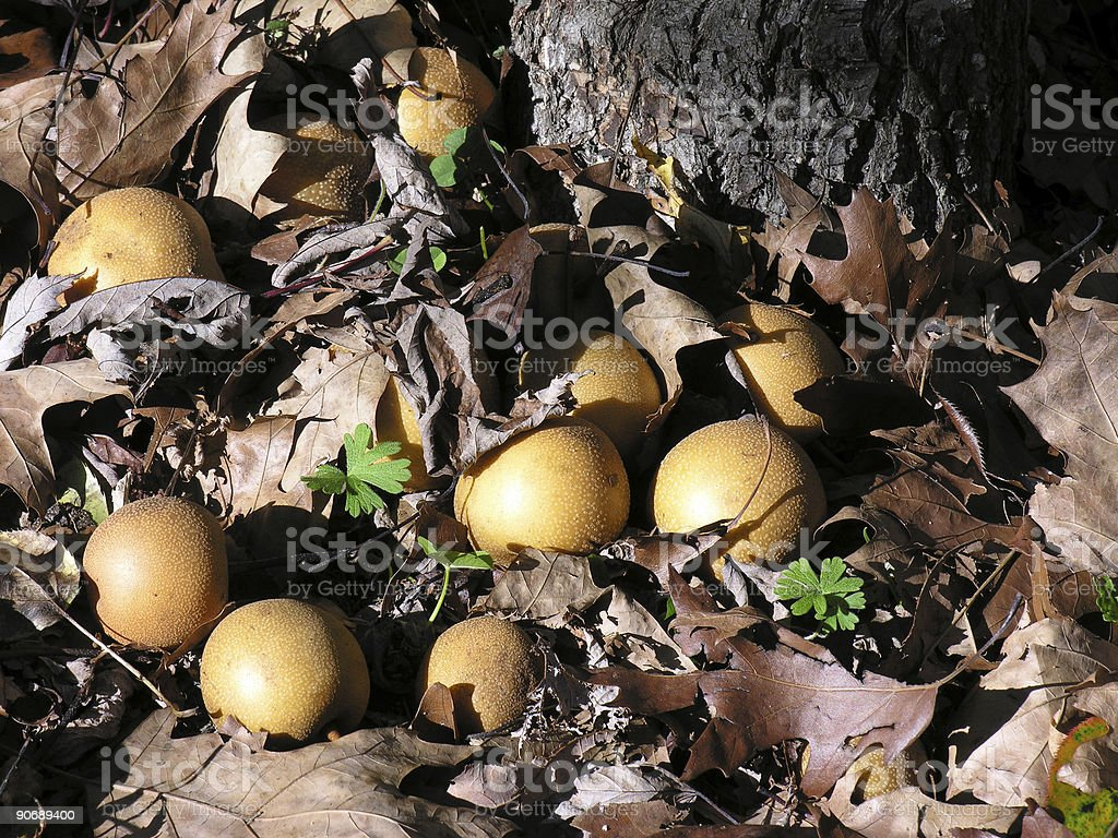 Apples fallen on the ground royalty-free stock photo