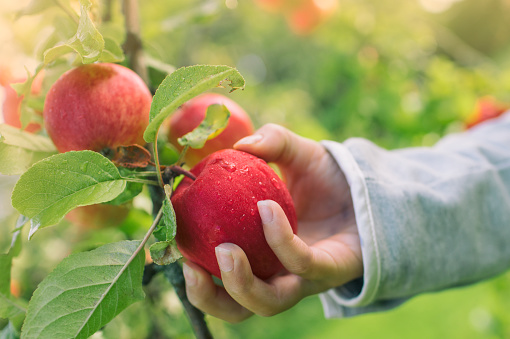 Apples from the tree