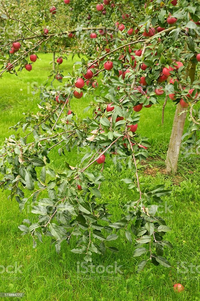 Apples, fruit on a tree branch in an orchard royalty-free stock photo