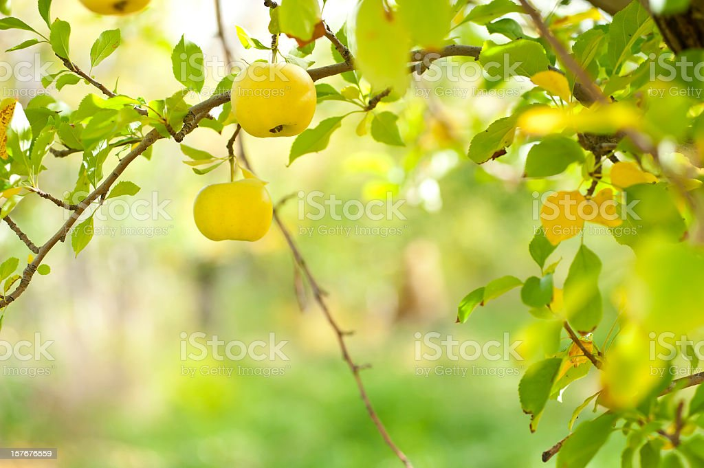 Apples growing on tree in orchard royalty-free stock photo