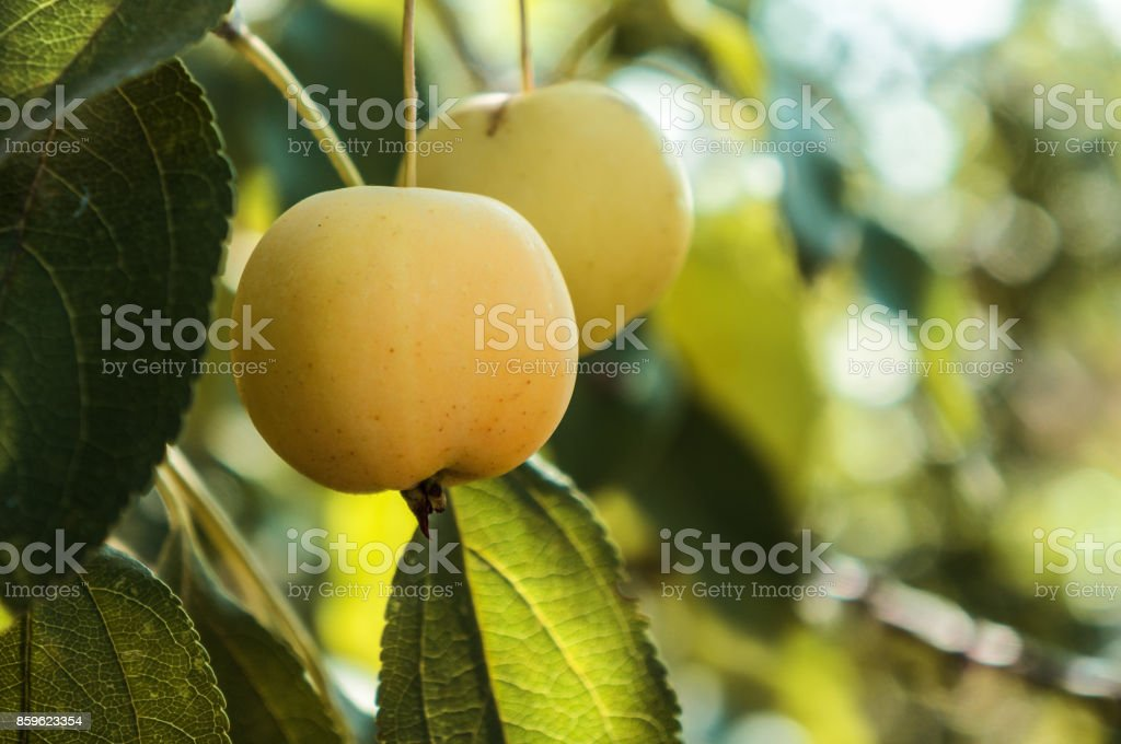 Apples grows on a branch stock photo