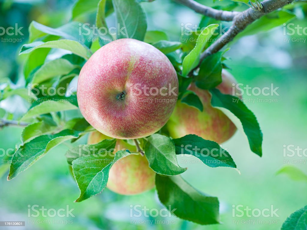 Apples hang from branch royalty-free stock photo