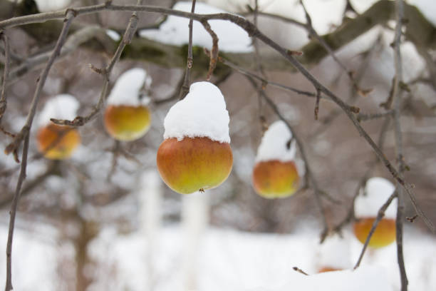 Apples hanging from a tree in the winter covered with snow. stock photo