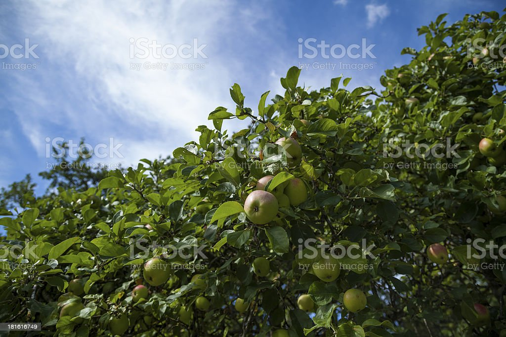Apples hanging from tree royalty-free stock photo