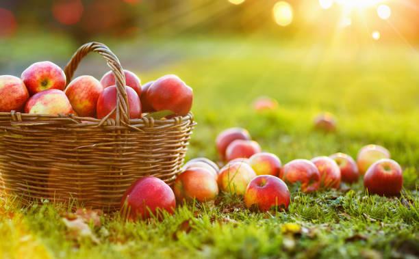 jabłka w koszu na świeżym powietrzu - zbierać plony zdjęcia i obrazy z banku zdjęć