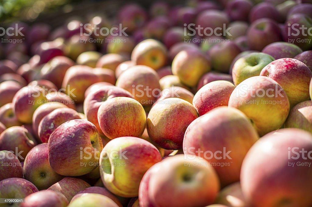 Apples in a bin stock photo