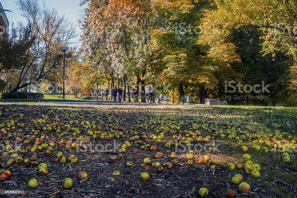 Apples in a Campus royalty-free stock photo