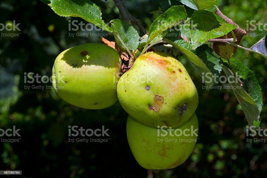 Apples in a tree royalty-free stock photo