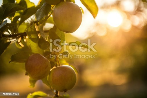 istock Apples in an Orchard Ready for Harvest 505840263