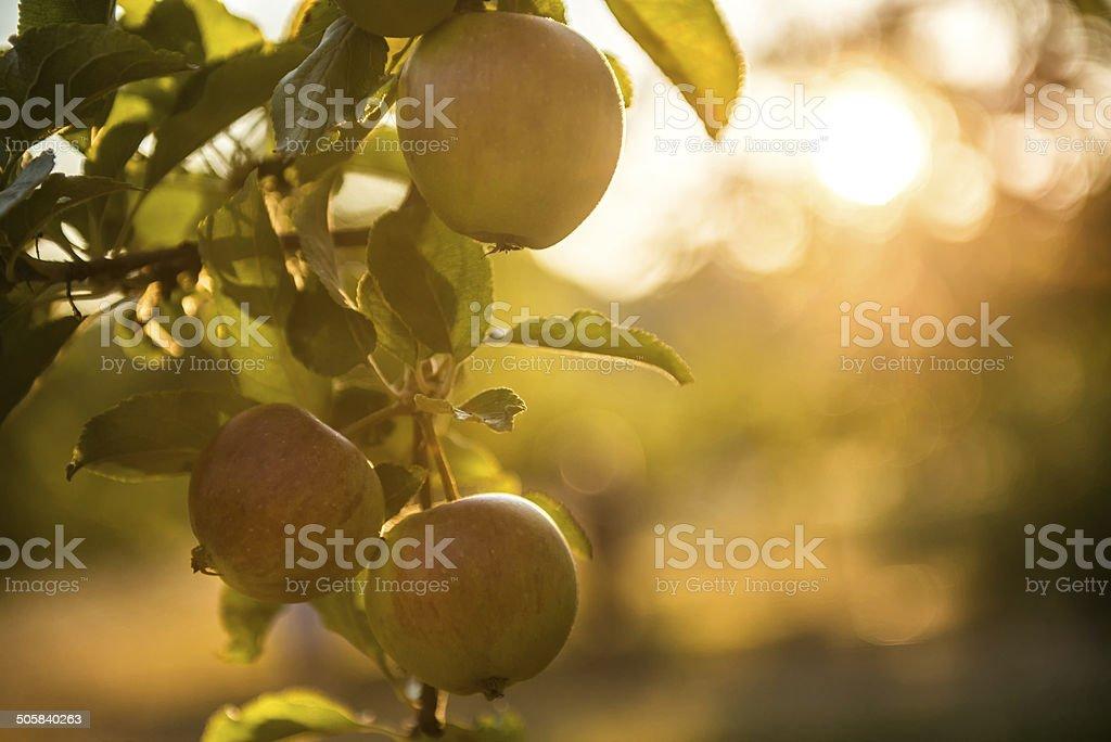 Äpfel in einem Obstgarten bereit für die Ernte – Foto