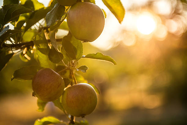 Apples in an Orchard Ready for Harvest Evening sunlight on ripe apples in an orchard.  British Columbia, Canada apple orchard stock pictures, royalty-free photos & images
